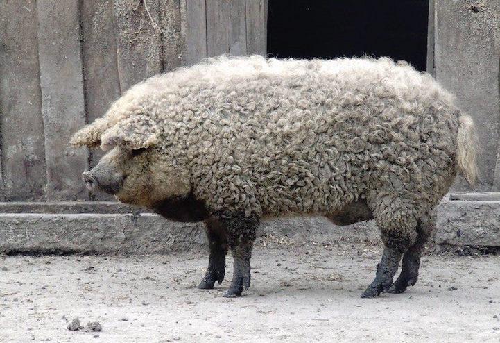 PigSheep7